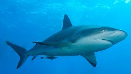 En las costas mexicanas existen diferente especies de tiburón, como el martillo común (Sphyrna lewini) y el tiburón martillo gigante (Sphyrna mokarran), pero son 16 especies las que se encuentran […]