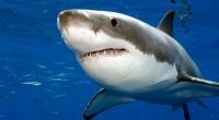 En la próxima Conferencia de vida silvestre de Naciones Unidas se analiza que es momento idóneo para establecer medidas globales para la protección de las diversas especies de tiburón, ello […]