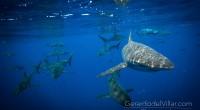 """De acuerdo a la últimabitácoradel buzo profesional, Gerardo del Villar, llamada """"Expedición Cabo""""en búsqueda de tiburones toro y otras especies de mar abierto, indicó que: Nuestro país es un […]"""