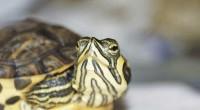 La tortuga amarilla (carettacaretta) es un quelonio que se encuentra en peligro de extinción. La población del Pacífico Norte de la tortuga anida exclusivamente en el archipiélago japonés, pero los […]