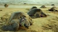 La Comisión Nacional de Áreas Naturales Protegidas (CONANP), a través del Centro Mexicano de la Tortuga registró más de 45 mil tortugas Golfinas en la tercera arribazón en el Santuario […]