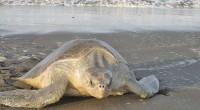 En el santuario tortuguero Rancho Nuevo, Tamaulipas, que es atendido por la Comisión Nacional de Áreas Naturales Protegidas (Conanp), nacieron 145 mil tortugas lora, especie que se encuentra en peligro […]