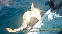 Más de 60 mil personas han enviado cartas al Presidente Enrique Peña Nieto para solicitar que se detenga la mortandad más alta a nivel mundial de tortugas marinas en Baja […]