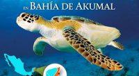 La Comisión Nacional de Áreas Naturales Protegidas (CONANP) dio a conocer la suspensión temporal de actividades de nado y buceo libre (snorkel) con tortugas marinas en elÁrea de Refugio Bahía […]