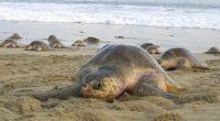 Morro Ayuta, una de las playas mexicanas del estado de Oaxaca que tiene el privilegio de recibir cada año a miles de tortugas Golfina para desovar, y de acuerdo con […]