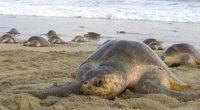 La PROFEPA en coordinación con la Secretaría de Marina Armada de México (SEMAR) y la Comisión Nacional de Áreas Naturales Protegidas (CONANP) en Oaxaca, ha protegido 4,153,304 nidos de tortugas […]