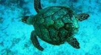 Grupos ambientalistas solicitaron formalmente sanciones comerciales en contra de México pidiendo se detenga la muerte masiva de tortugas caguama en ese país debido a su captura incidental. En comunicado de […]