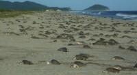 La Comisión Nacional de Áreas Naturales Protegidas (CONANP), a través del Centro Mexicano de la Tortuga informó sobre el inicio de la segunda arribada de tortuga Golfina (Lepidochelys olivacea) durante […]