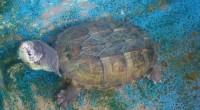 México recibe seis de las siete especies de tortugas marinas que existen en el mundo: Tortuga Carey (Eretmochelys imbricata), Tortuga Lora (Lepidochelys kempii), Golfina (Lepidochelys olivacea), Tortuga Caguama (Caretta […]