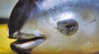 La Unión para la Conservación de la Naturaleza (UICN) publicó una lista con las 100 especies más amenazadas en el mundo, entre ellas, la marsopa mexicana vaquita, una de las […]