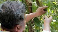 La vainilla mexicana, es una de las tres especies que existe en el mundo y que se cultiva para la producción comercial y que en la época prehispánica los Totonacas […]