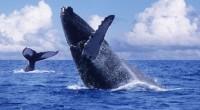 Ballena Jorobada Megaptera novaeangliae Orden: Cetacea Familia Balaenopteridae La ballena jorobada es una de las más reconocidas de todas las ballenas debido a la joroba de la aleta dorsal. También […]