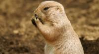 Perrito de la pradera mexicano Cynomys mexicanus Orden: Rodentia Familia: Sciuridae Este roedor mide entre 39 y 43 centímetros de longitud total, su peso varía entre 800 y 1,400 gramos […]